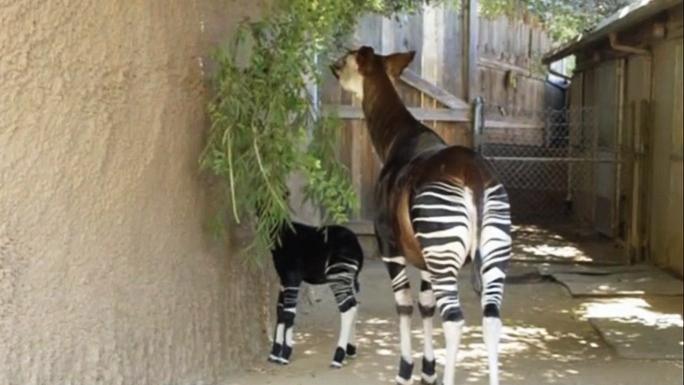 Детёныш окапи появился перед посетителями зоопарка Сан-Диего