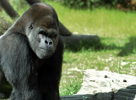 gorilla-450x332.png