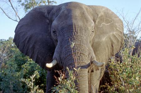 Зимбабве, слоны, браконьеры, цианид, отравление