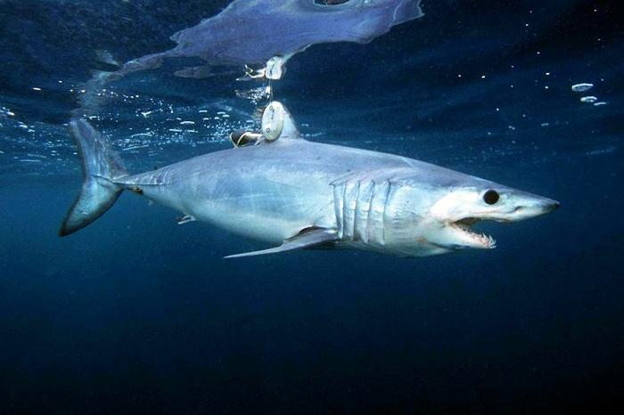 рыбак, рыба, акула