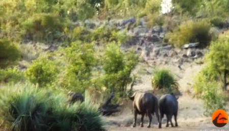 слонёнка, львы, буйволы