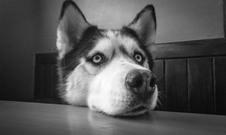 собака, лайка, семья