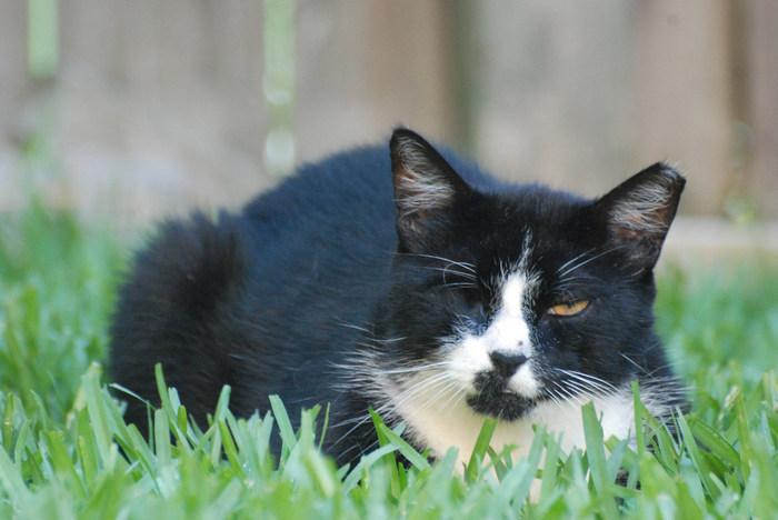 кот, кошка, трава