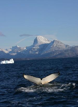 115 2008 4 28 whale tail 6112 251 - Погреться в Гренландии