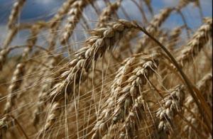 В Иране обнаружен очень опасный пшеничный грибок