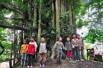 В провинции Гуйчжоу растет 4000-летнее дерево гингко
