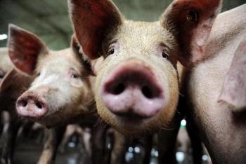 Роспотребнадзор: российская свинина безопасна