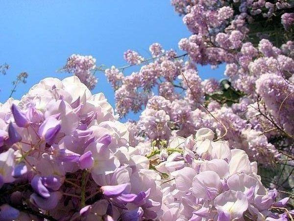 Ласково цветет глициния...