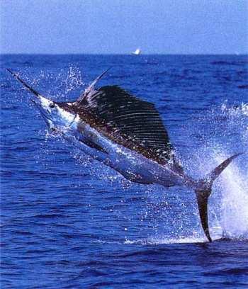 Ловись, рыбка, а лучше – рыба-меч!