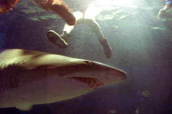 126 akula 51498211 - Военный ныряльщик из Австралии голыми руками отогнал акулу