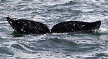 Более 80 китов выбросилось на западное побережье Австралии