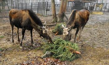 Два лося-подростка посетили детскую больницу в Донецке