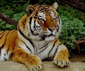 161 27 09 2009 TIGR - Во Владивостоке начался День тигра