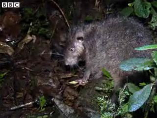 92 KRISA 07 09 09 350 - Гигантских крыс  обнаружили в Папуа-Новой Гвинее кинематографисты BBC