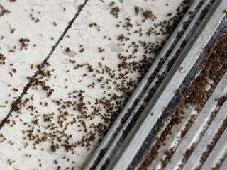 """115 1202776 - На юг США вторглись полчища """"сумасшедших муравьев"""""""