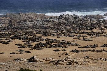 Факты экологической катастрофы: на побережье Чили найдены сотни мертвых морских львов