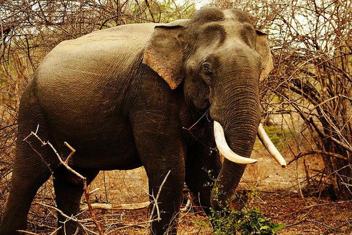 Браконьерство ставит под угрозу существование диких слонов в Африке