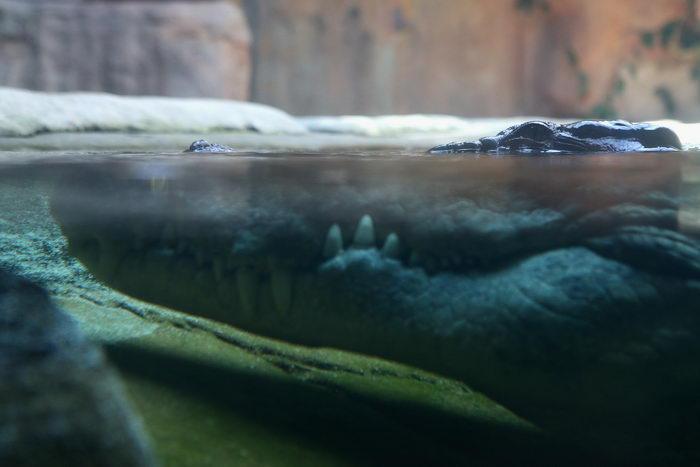 Самый крупный в мире крокодил умер в экопарке на Филиппинах
