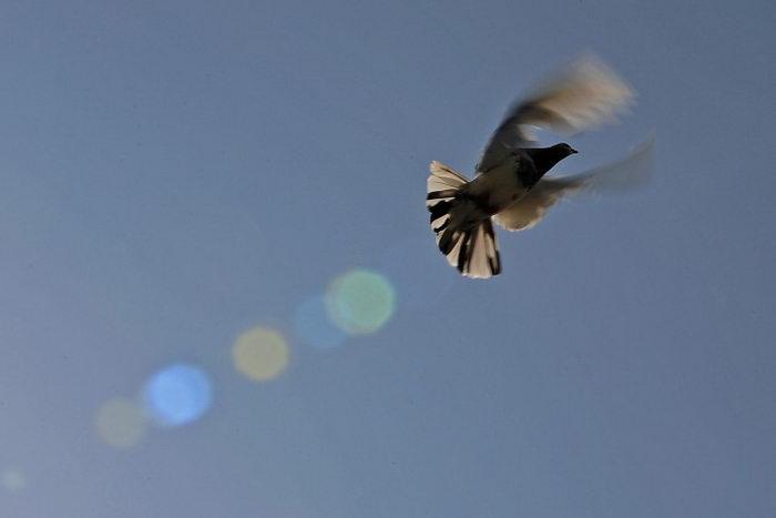 Раскрыта тайна исчезновения почтовых голубей
