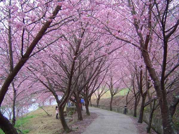 137 137 u131 Cherry1 - В Тайване зацвели вишни