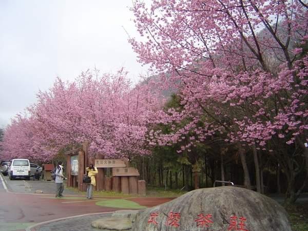 137 137 u131 Cherry2 - В Тайване зацвели вишни