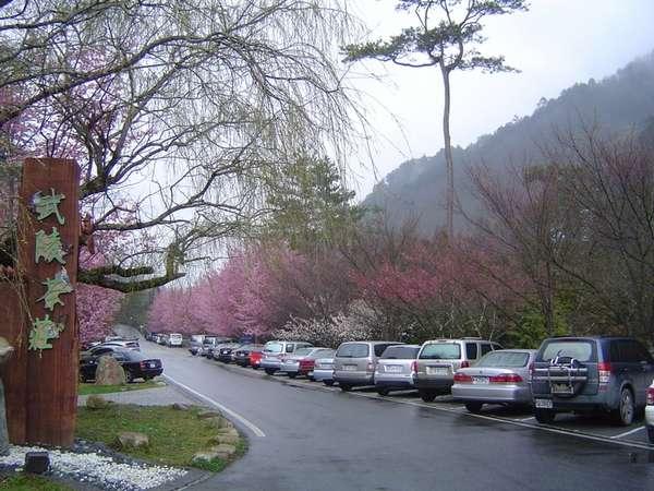 137 137 u131 Cherry4 - В Тайване зацвели вишни