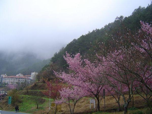 137 137 u131 Cherry5 - В Тайване зацвели вишни