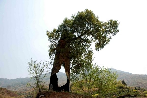 137 u91 2104 qiangshu - Стойкое трёхсотлетнее дерево в Китае