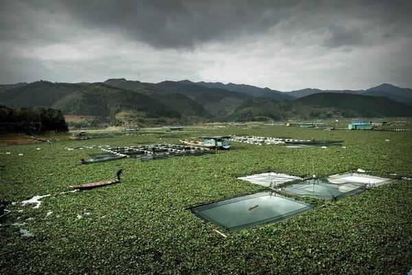 В восточном Китае река из-за водорослей похожа на равнину
