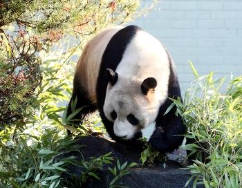 Панду в дикой природе впервые увидели после землетрясения в Сычуани