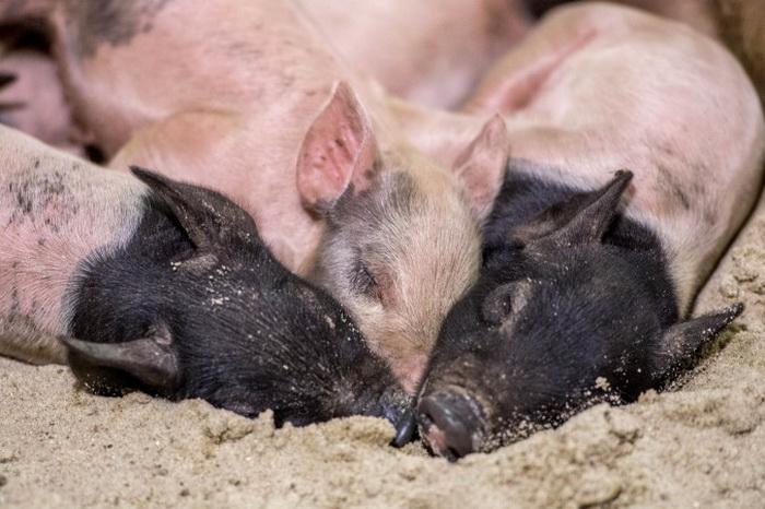 163 pigs china - Китайский чиновник разочаровался в системе и вышел из компартии