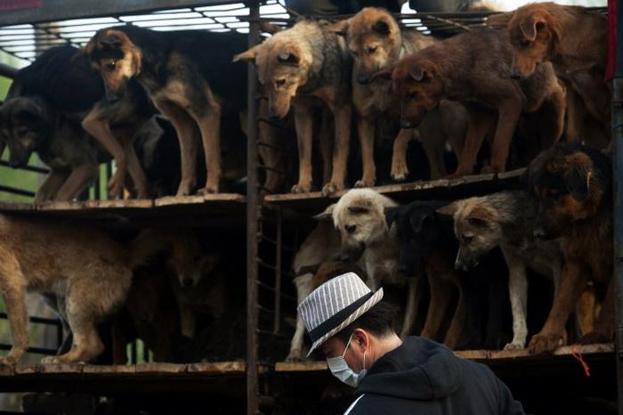 163 sobaki - Китайские защитники животных спасли более 400 собак