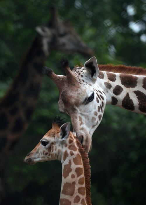 В Индии родился редкий африканский жираф