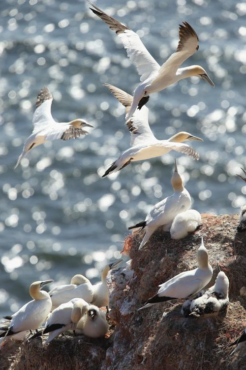 Остров Гельголанд в Германии стал домом для тысяч птиц