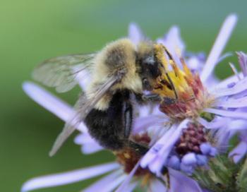 Некоторые пчелы склонны к авантюризму