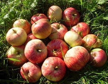 Хитрец и яблоки