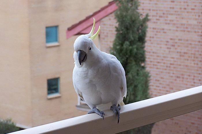 Мои австралийские друзья-какаду. Самый совершенный в мире будильник