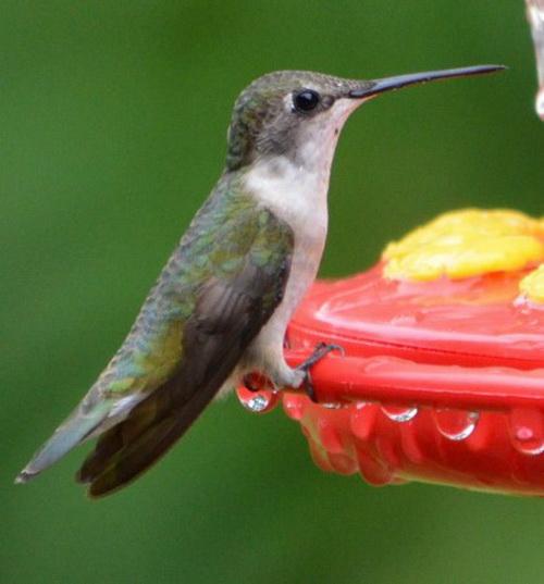 Колибри: десять больших фактов о маленьких птицах