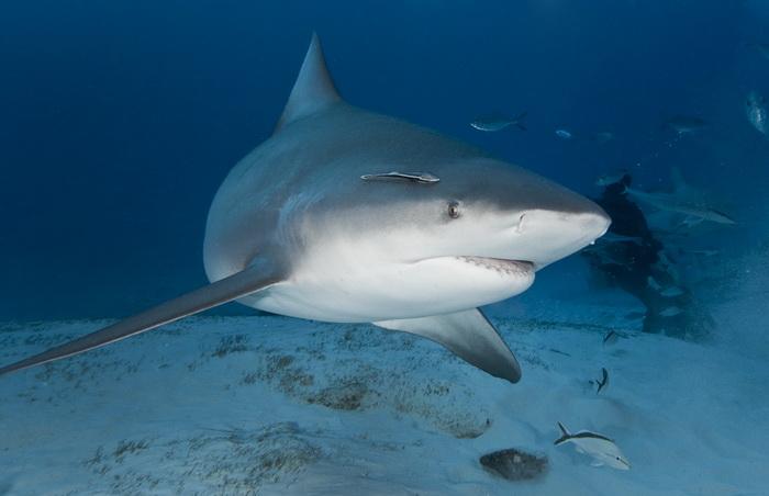 10 самых опасных акул в мире