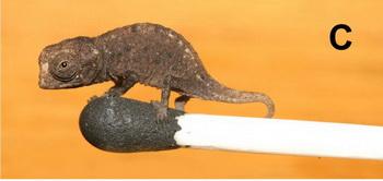 163 0103 chameleon3 - Миниатюрные листовые хамелеоны найдены на Мадагаскаре