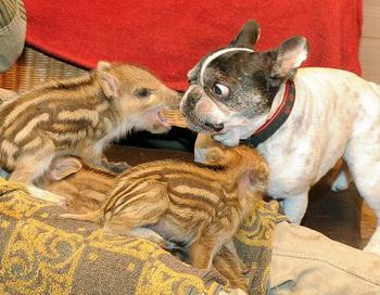 Собака-бульдог усыновила шестерых поросят дикого кабана