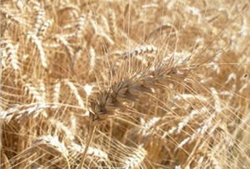 Драгоценные зерна