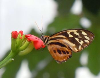 163 0402 small - Наука в картинках: ядовитая бабочка «тигровая маска»