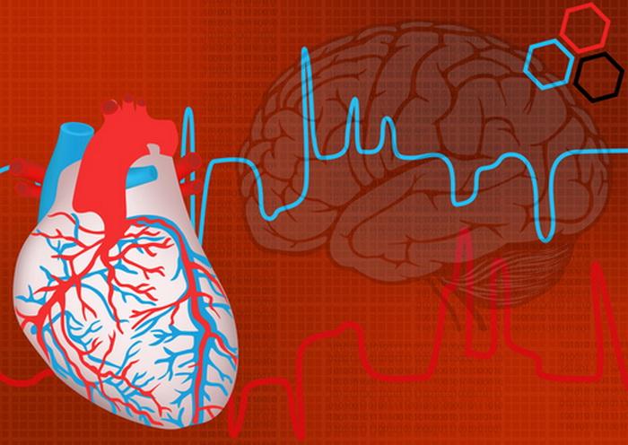 Наше сердце похоже на маленький мозг