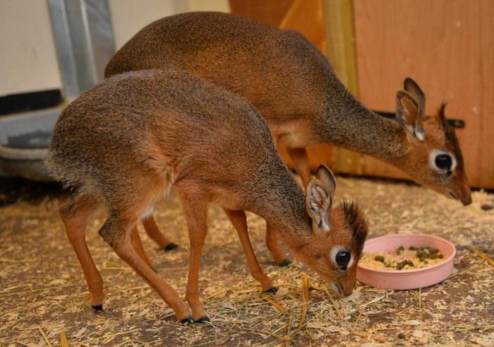 У антилопы дикдик родился детёныш в английском зоопарке