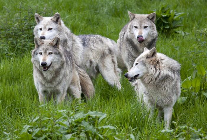 191 wolves shutterstock - Жизненные уроки, которые нам могут преподать животные