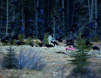 Волки: невозмутимые и благородные