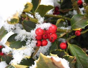 О новогодней елке и лохматых ветках