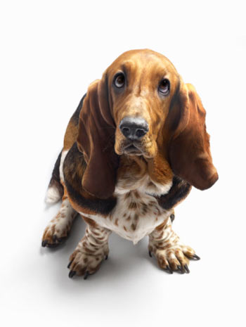 Как выбрать себе собаку по темпераменту?