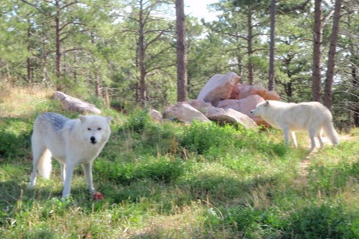 Волки — стражи природы или опасные хищники?
